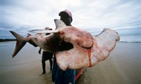 Chinese appetite for shark fin soup devastating Mozambique coastline