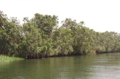 white mangroves seen at the site.jpg