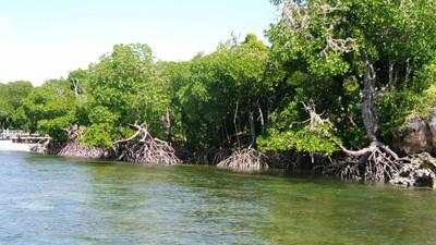 Mida creek mangroves (3).JPG